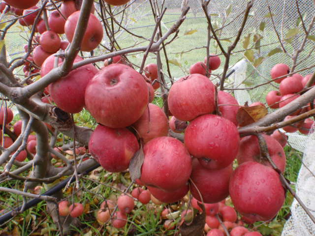 Some very late season Lady Williams apples