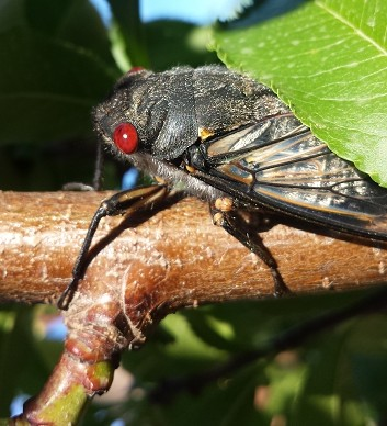 A cicada on a fruit tree