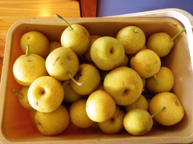 Ripe nashi pears