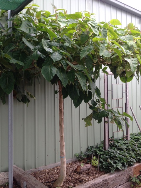 A fast-growing tamarillo tree protected from frost by planting next to the shed