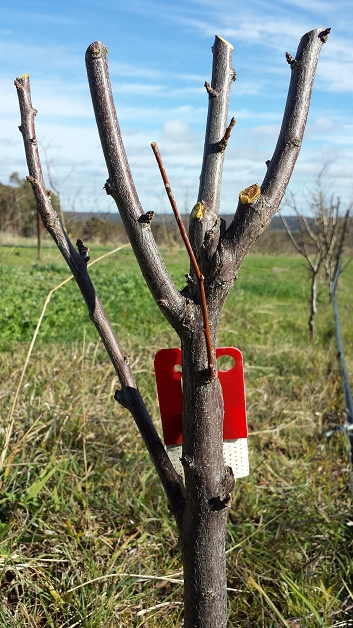 A two year old plum tree that's had it's winter pruning