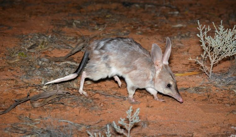 A bilby being reintroduced into the wild