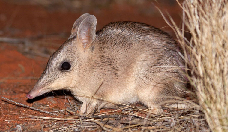 Western Barred Bandicoot to be reintroduced in Sturt National Park