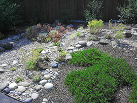 Cobbles and pebbles contrast with the mulch, succulents, and groundcover manzanita