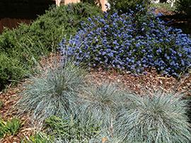 Idaho fescue and a mounding ceanothus