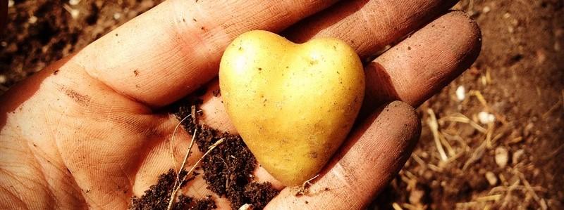 Heart-shaped potato at Dolores Garden