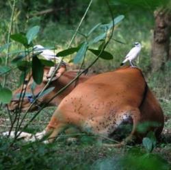 photo Bali cow Nusa Penida