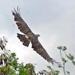 Photo Changeable Hawk-eagle released
