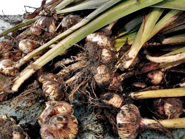Preparing Gladiolus bulbs for the winter