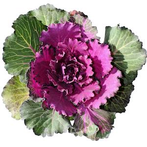 Kale, Brassica oleracea