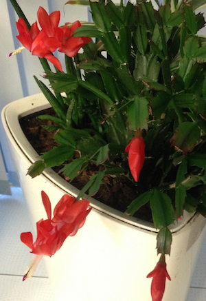 Indoor Christmas Plant - Shlumbergera, Christmas cactus