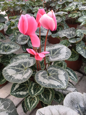 Plant of the month - Persian Cyclamen, Cyclamen persicum