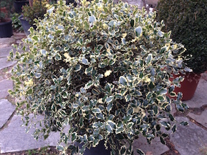 Outdoor Christmas Plant - Ilex aquifolium, Christmas holly