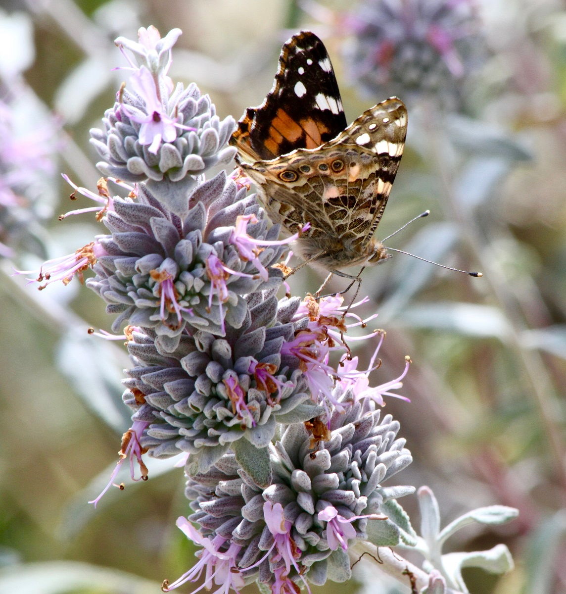 A painted lady butterfly feeding on purple sage at NCOS. Photo courtesy of K. Lunsford.