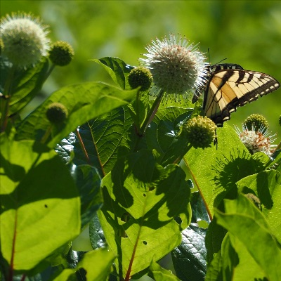 photo buttonbush and tiger swallowtail butterfly
