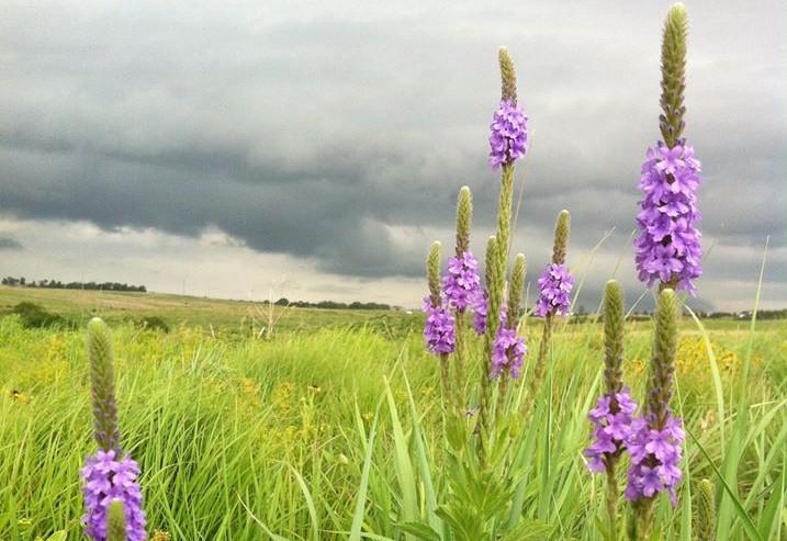 Picture of Blue Vervain on the Nebraska Prairie