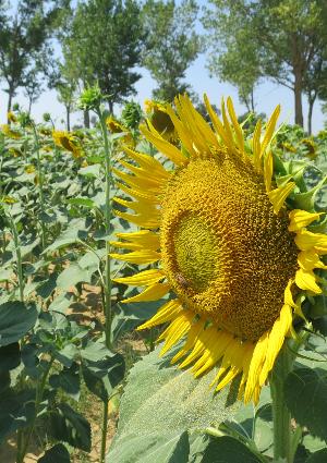 Sunflower field in Italy :: photo by Rusty Blazenhoff