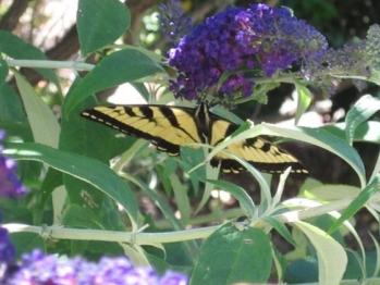 Butterfly feeding 2013.