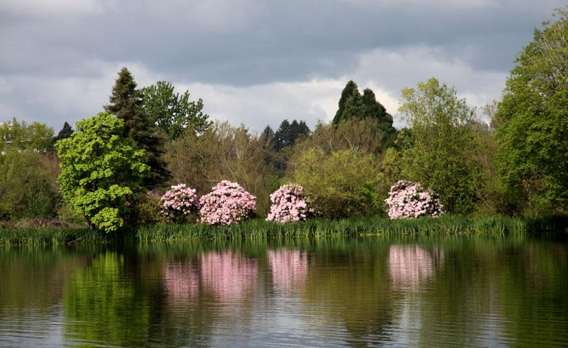 Rhodies across the lake