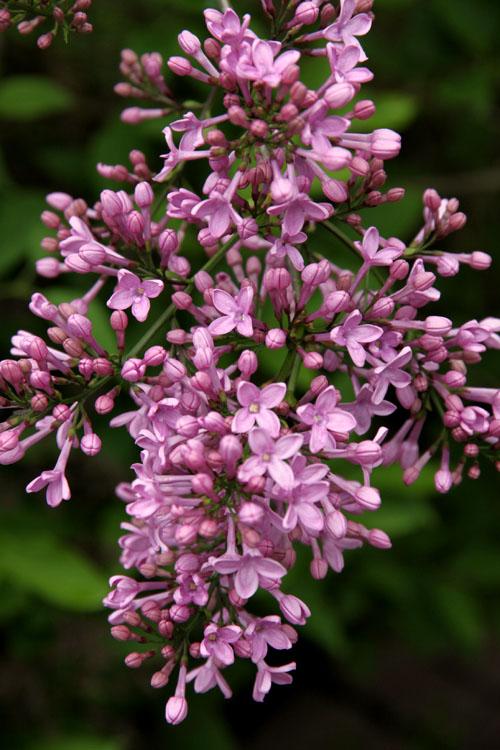 purple lilac 2