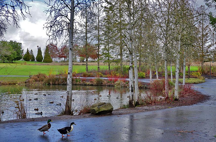 Ducks at Dawson Ck.