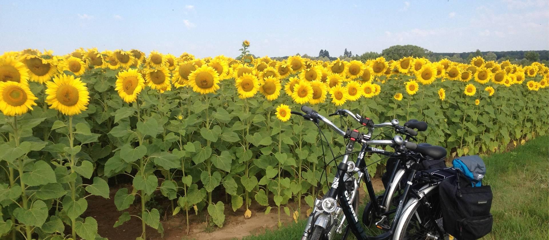 sunflowers Loire