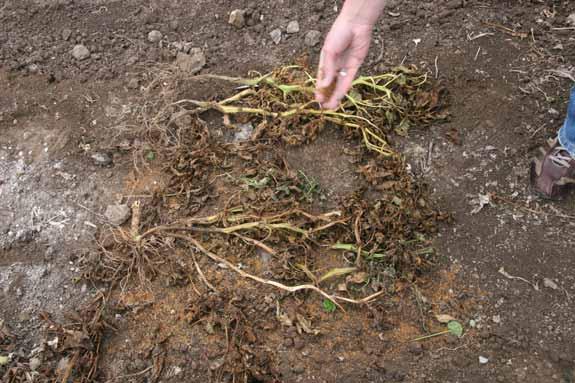 Earth Zing being sprinkled over crop debris