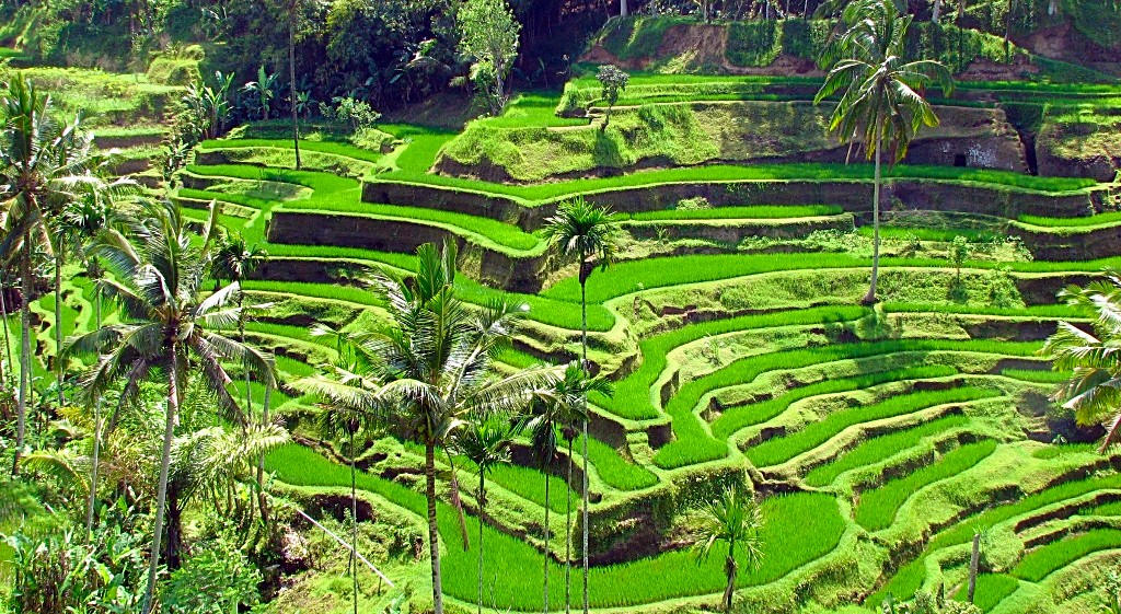 Indonezija - riževe terase
