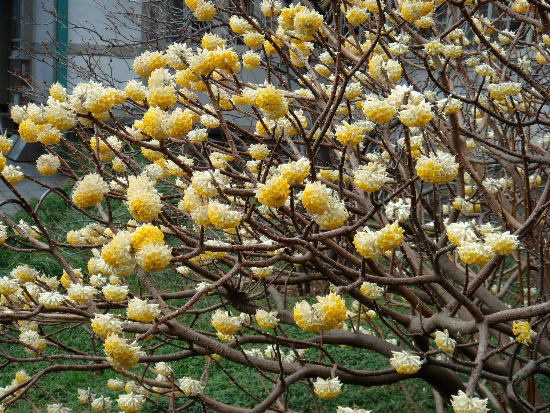 The flowers of the Mitsumata in full bloom