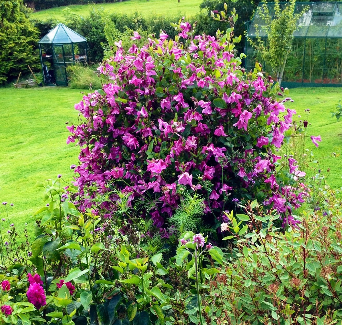 Clematis 'Alionushka' in a customers garden