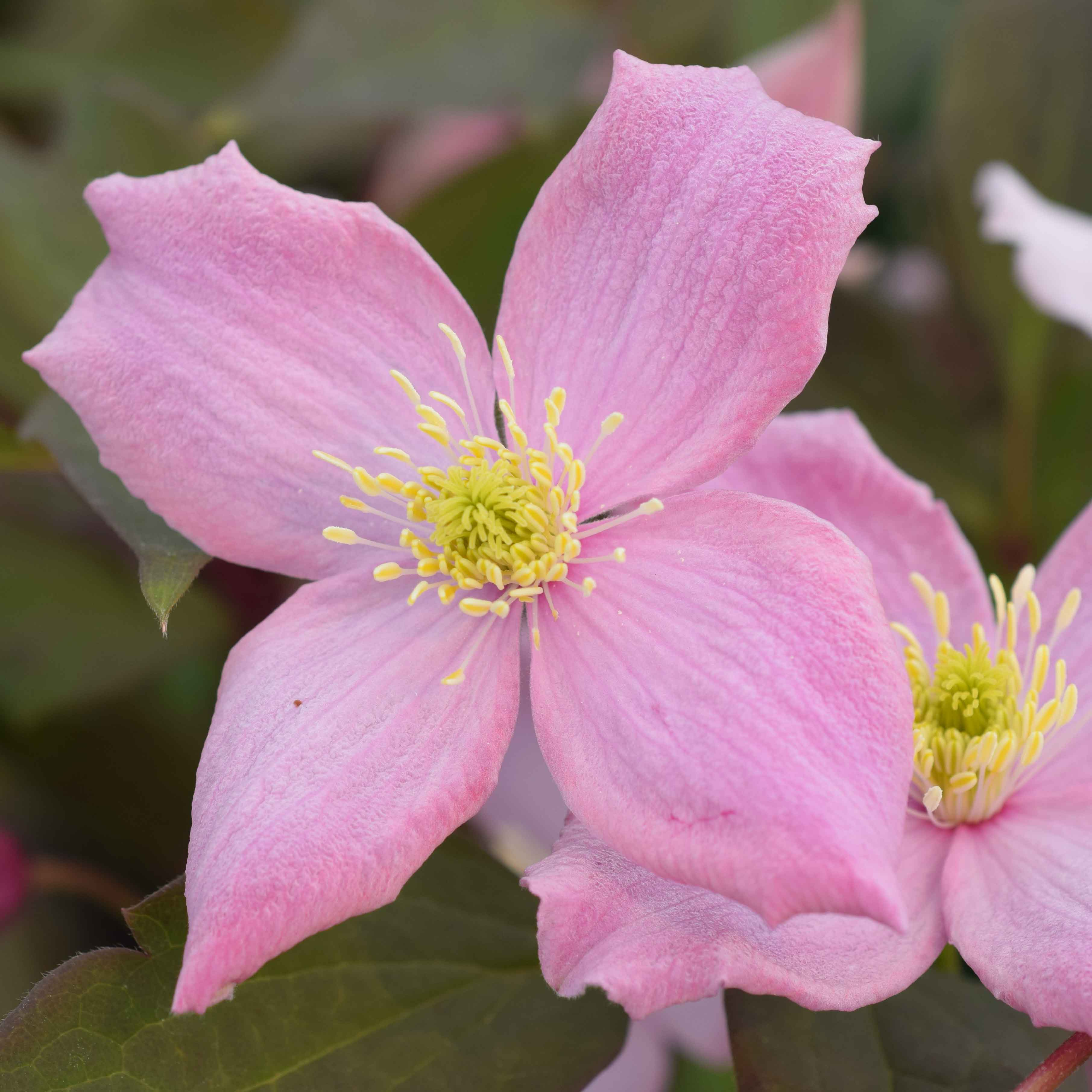 Montana 'Fragrant Spring'