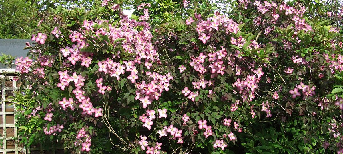 Clematis montana 'Freda' - a beautiful montana growing 15-20 feet