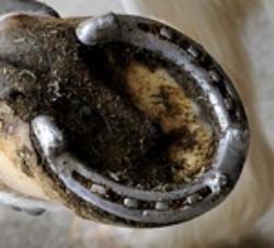 Borium Horseshoe