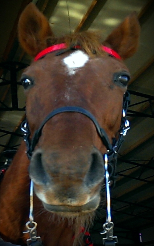 """A Halter Bridle with Bit hangers with an optional 1"""" Changeable Browband with Red overlay"""