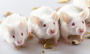 Lab mice with food (tiripero/iStock/Getty)