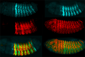 Gene expression in fruit fly embryos with and without epigenetic memory (Gary Struhl)