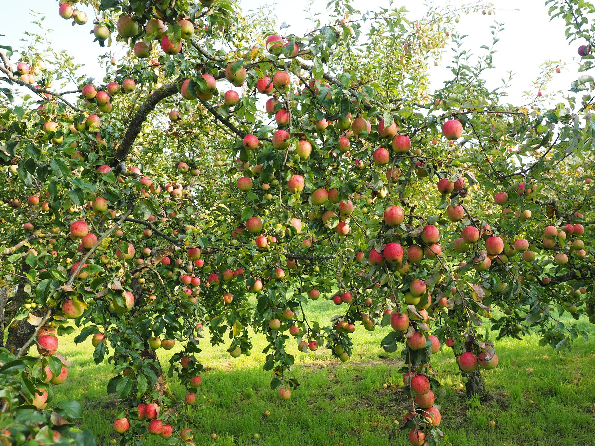 apple tree with many ripe apples