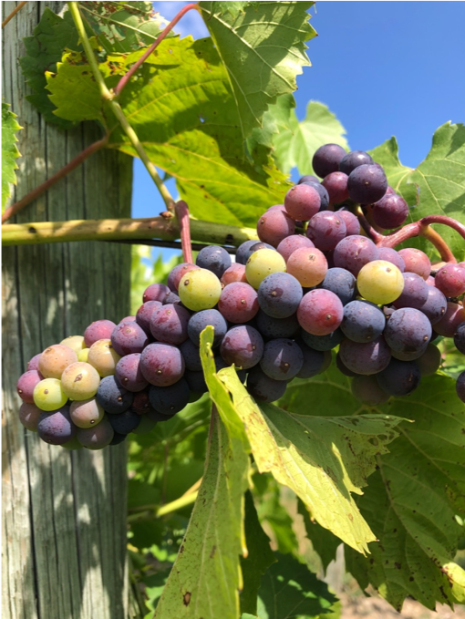 Veraison on Grapes