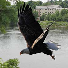 Eagle over the Kennebec River
