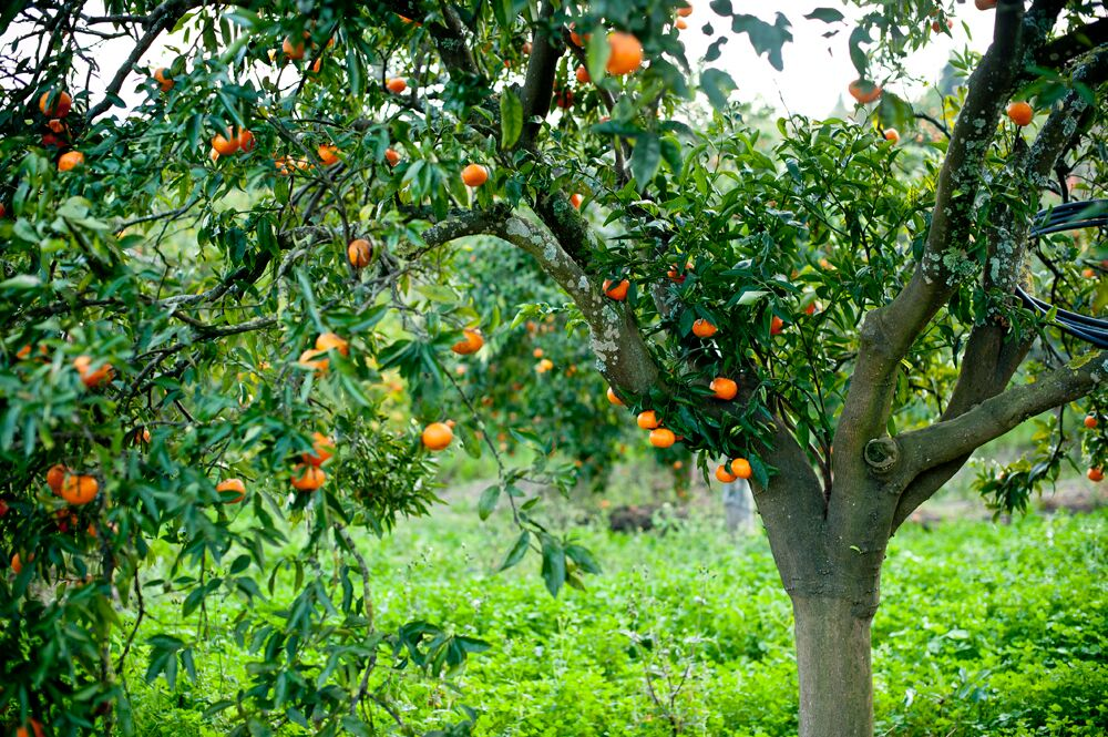 Andalucia Oranges in Seville
