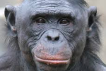 Image result for bonobos