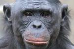 Image result for bonobos