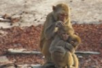 File:Dhamrai Monkey Family.jpg