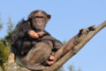File:Schimpanse, Pan troglodytes 3.JPG
