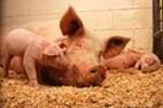 Domestic pigs.jpg