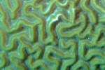 File:Tubeworms on healthy Brain Coral.jpg