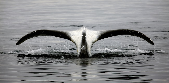 Fantastic sighting of Bowhead whales in North Atlantic