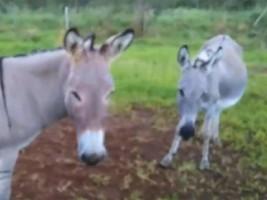 Donkeys, Eddie and Flow