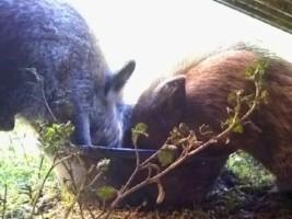 Piglets eating