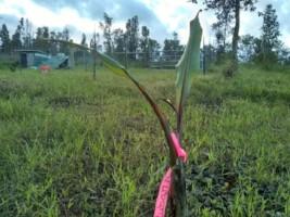 Banana keike, dwarf red cuban
